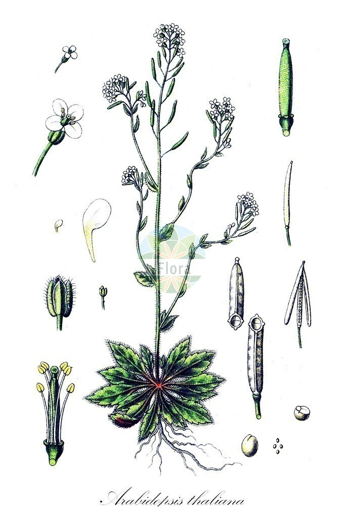 Historical drawing of Arabidopsis thaliana (Thale Cress) | Historical drawing of Arabidopsis thaliana (Thale Cress) showing leaf, flower, fruit, seed