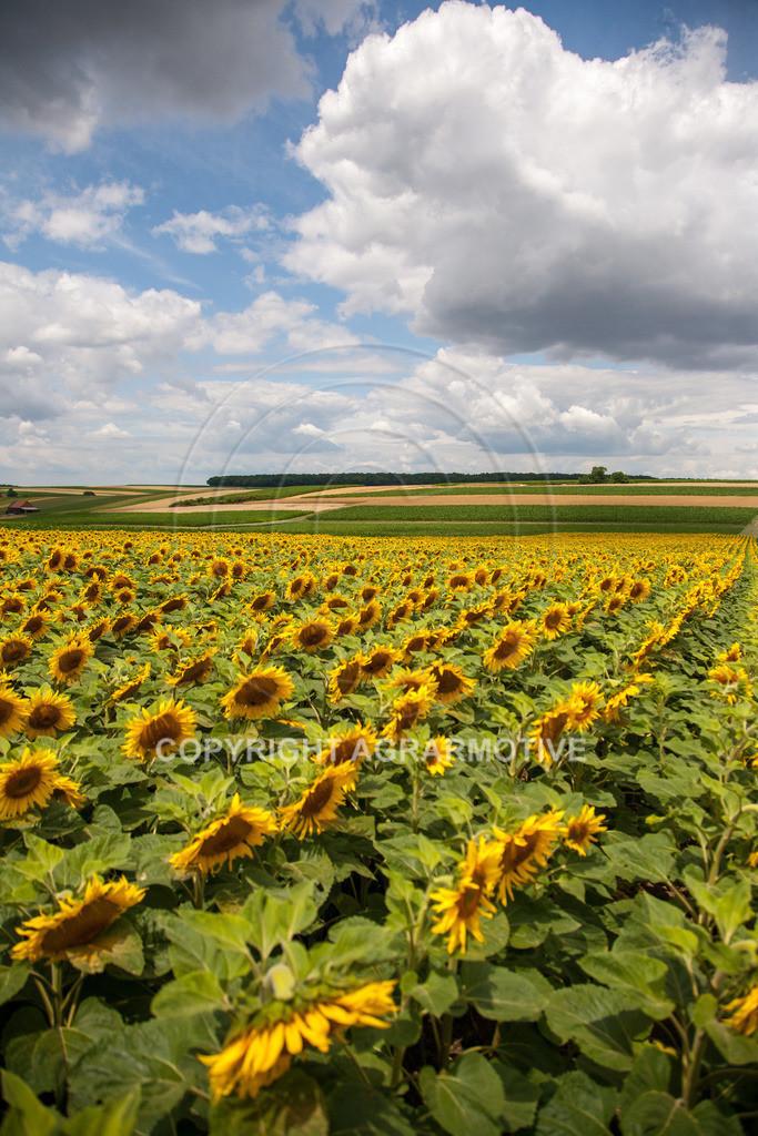 20090711-IMG_3679 | blühende Sonnenblumen im Sommer - AGRARMOTIVE Bilder aus der Landwirtschaft
