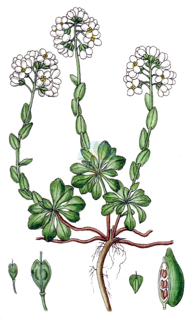 Noccaea alpestris | Historische Abbildung von Noccaea alpestris. Das Bild zeigt Blatt, Bluete, Frucht und Same. ---- Historical Drawing of Noccaea alpestris.The image is showing leaf, flower, fruit and seed.