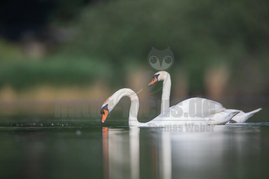 20190610093433 | Der Höckerschwan ist eine Vogelart, die innerhalb der Entenvögel zur Gattung der Schwäne und zur Unterfamilie der Gänse gehört. Als halbdomestizierter Vogel ist er heute in weiten Bereichen Mitteleuropas beheimatet. Er hält sich bevorzugt auf Seen, Park- und Fischteichen, in seichten Meeresbuchten und im Winter auch auf offenen Flussläufen.