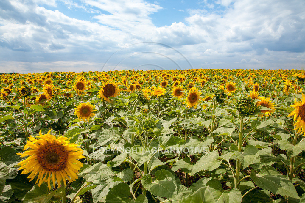 20090711-IMG_3776 | blühende Sonnenblumen im Sommer - AGRARMOTIVE Bilder aus der Landwirtschaft
