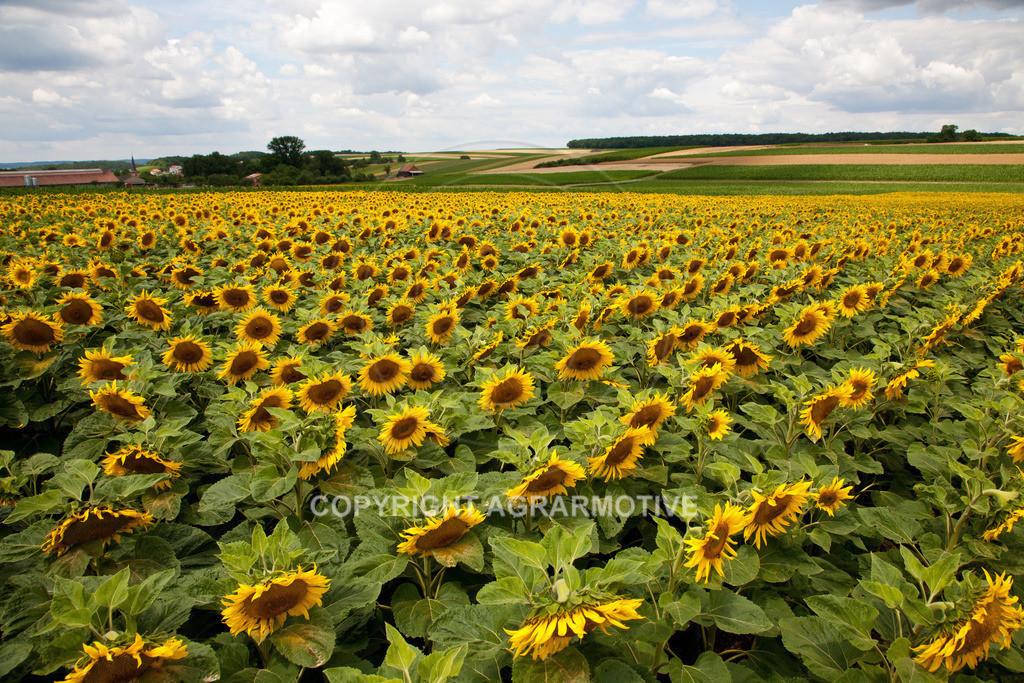20090711-IMG_3681   blühende Sonnenblumen im Sommer - AGRARMOTIVE Bilder aus der Landwirtschaft