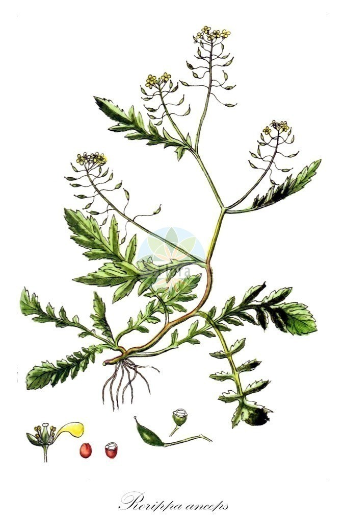Historical drawing of Rorippa anceps (Procumbent Yellowcress)   Historical drawing of Rorippa anceps (Procumbent Yellowcress) showing leaf, flower, fruit, seed