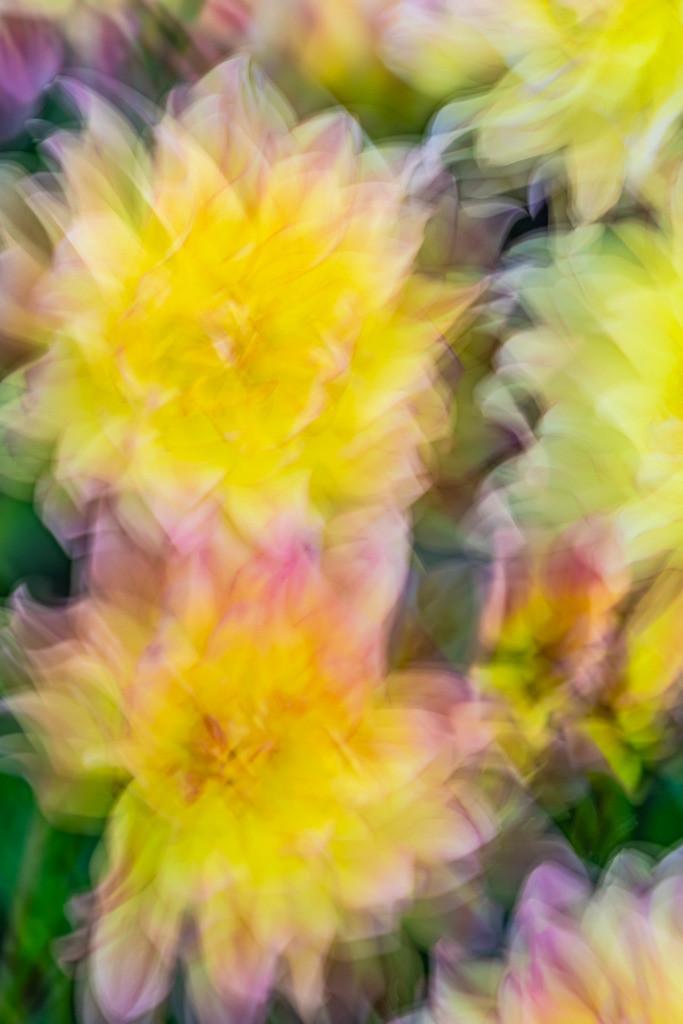 Best. Nr. PflanzenAbstrakt10 | Seerosen-Dahlie