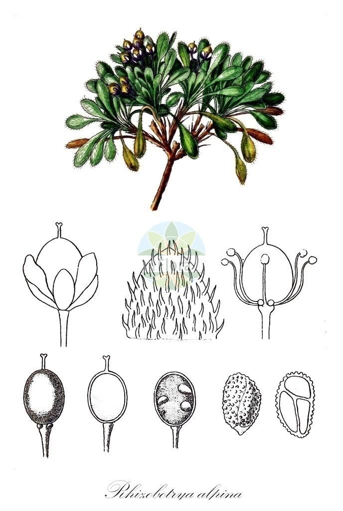 Historical drawing of Rhizobotrya alpina | Historical drawing of Rhizobotrya alpina showing leaf, flower, fruit, seed