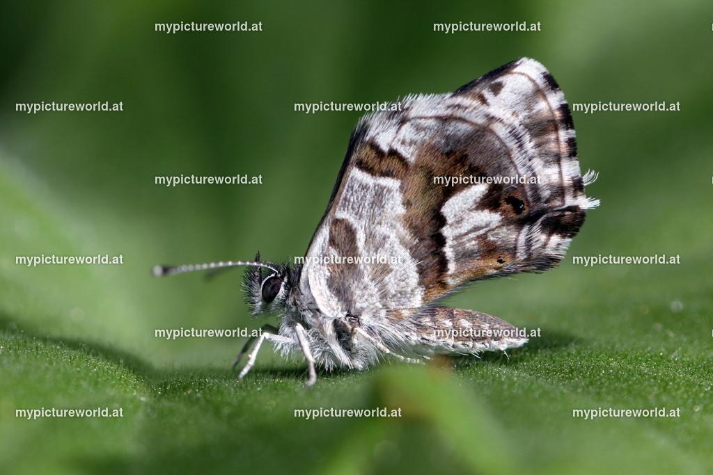 Cacyreus marshalli-002