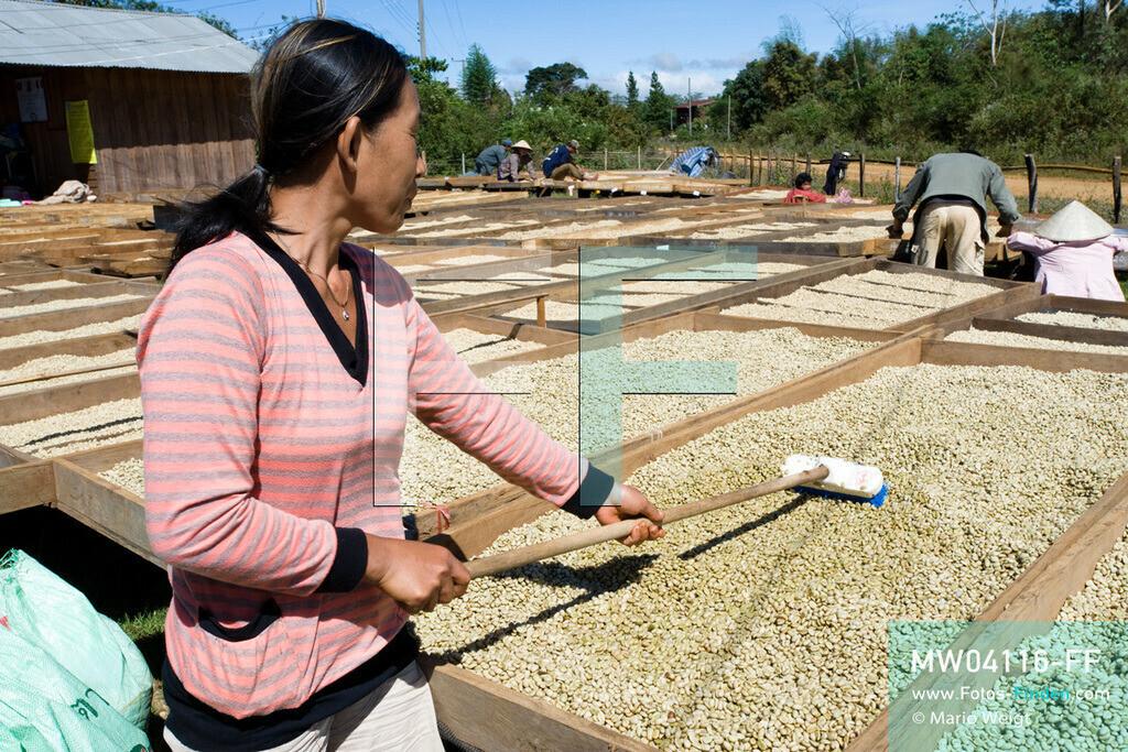 MW04116-FF   Laos   Paksong   Reportage: Kaffeeproduktion in Laos   Gewaschene Kaffeebohnen werden in der Sonne getrocknet und mehrmals gewendet. In den Plantagen auf dem Bolaven-Plateau gedeihen Sträucher der Kaffeesorten Robusta und Arabica.  ** Feindaten bitte anfragen bei Mario Weigt Photography, info@asia-stories.com **
