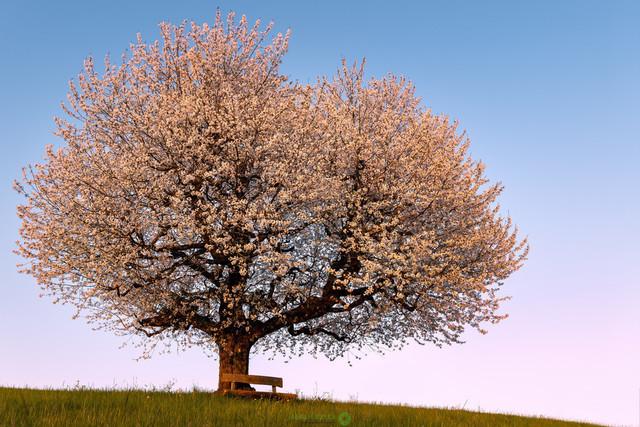 Kirschbaum   Kirschbaum im Abendlicht