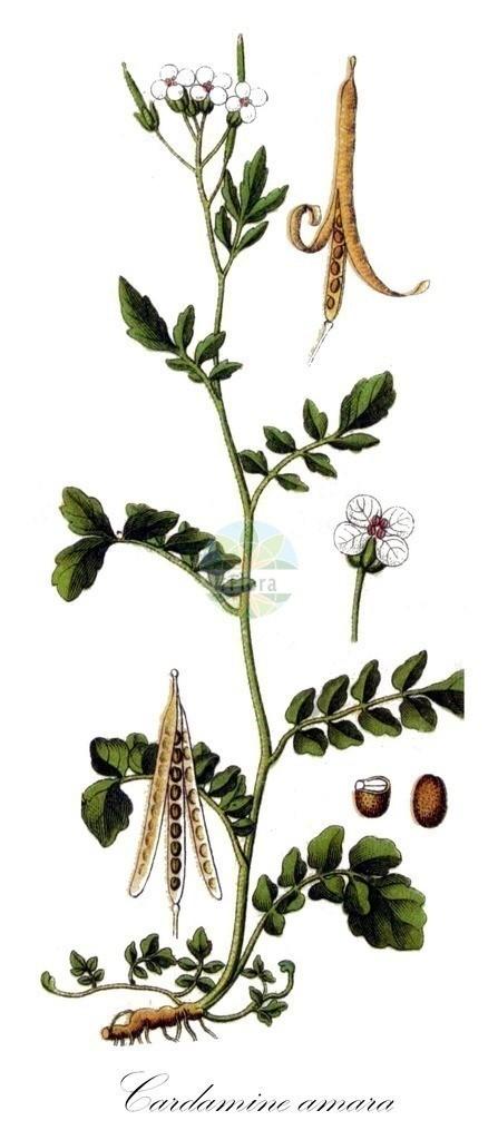 Historical drawing of Cardamine amara (Large Bitter-cress) | Historical drawing of Cardamine amara (Large Bitter-cress) showing leaf, flower, fruit, seed