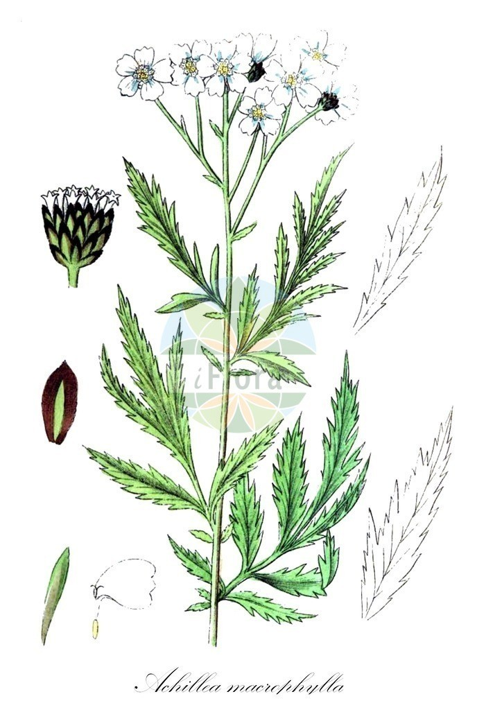 Achillea macrophylla (Grossblaettrige Schafgarbe - Large-leaved Sneezewort) | Historische Abbildung von Achillea macrophylla (Grossblaettrige Schafgarbe - Large-leaved Sneezewort). Das Bild zeigt Blatt, Bluete, Frucht und Same. ---- Historical Drawing of Achillea macrophylla (Grossblaettrige Schafgarbe - Large-leaved Sneezewort).The image is showing leaf, flower, fruit and seed.