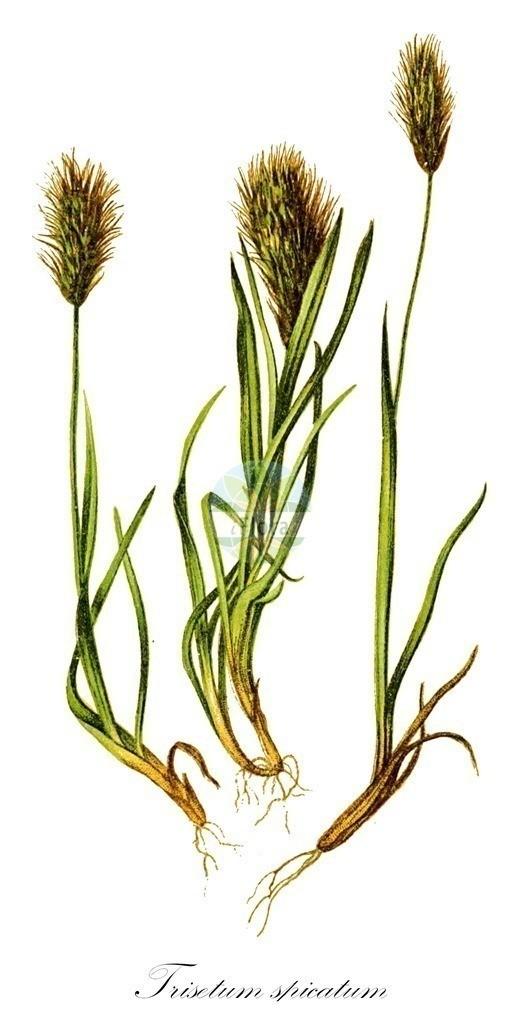 Historical drawing of Trisetum spicatum (Spike Trisetum) | Historical drawing of Trisetum spicatum (Spike Trisetum) showing leaf, flower, fruit, seed