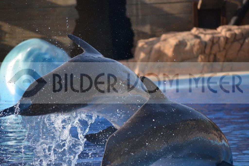 Delfin Bilder   Foto springende Delfine Spanien