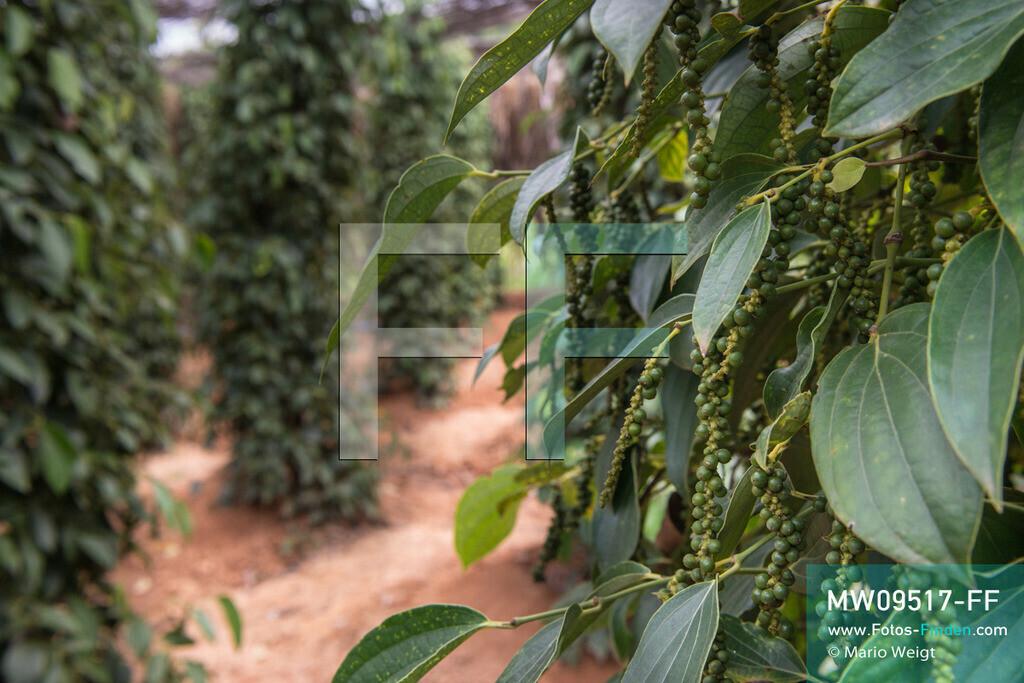 MW09517-FF | Kambodscha | Kampot | Reportage: Pfeffer aus Kampot | Grüne Pfefferbeeren. In der Umgebung von Kampot und Kep gibt es zahlreiche Pfefferplantagen.   ** Feindaten bitte anfragen bei Mario Weigt Photography, info@asia-stories.com **