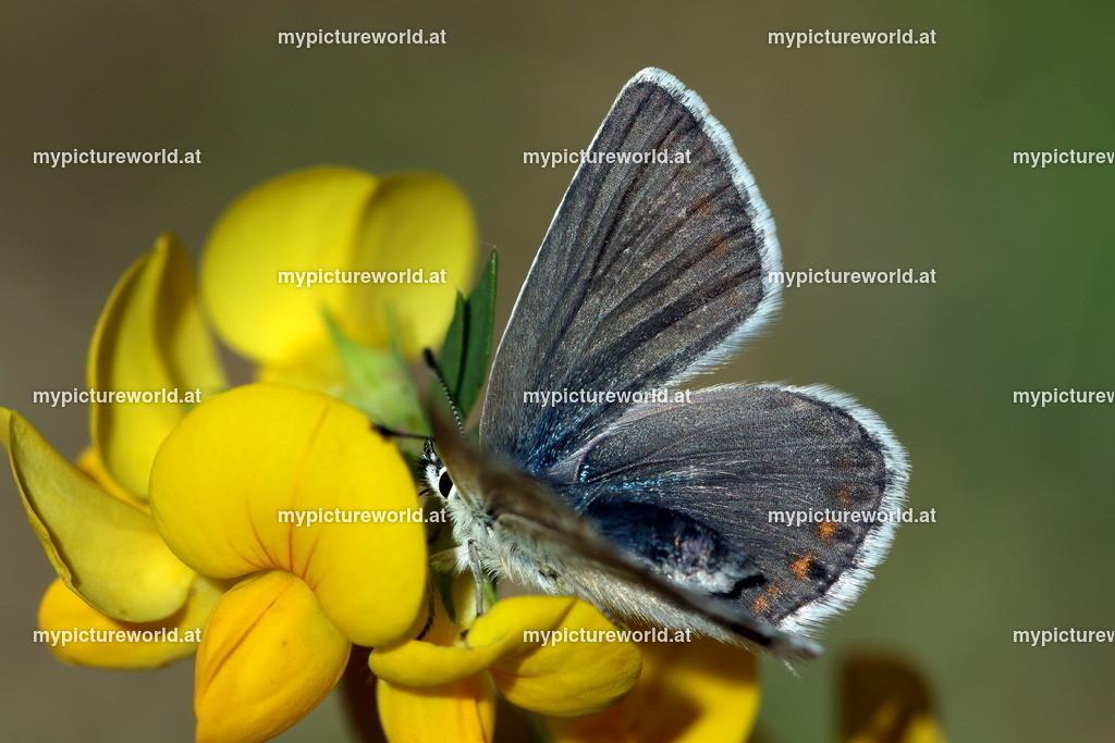 Polyommatus eros-018
