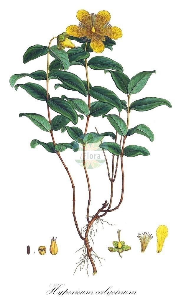 Historical drawing of Hypericum calycinum (St. John's Wo | Historical drawing of Hypericum calycinum (St. John's Wort) showing leaf, flower, fruit, s