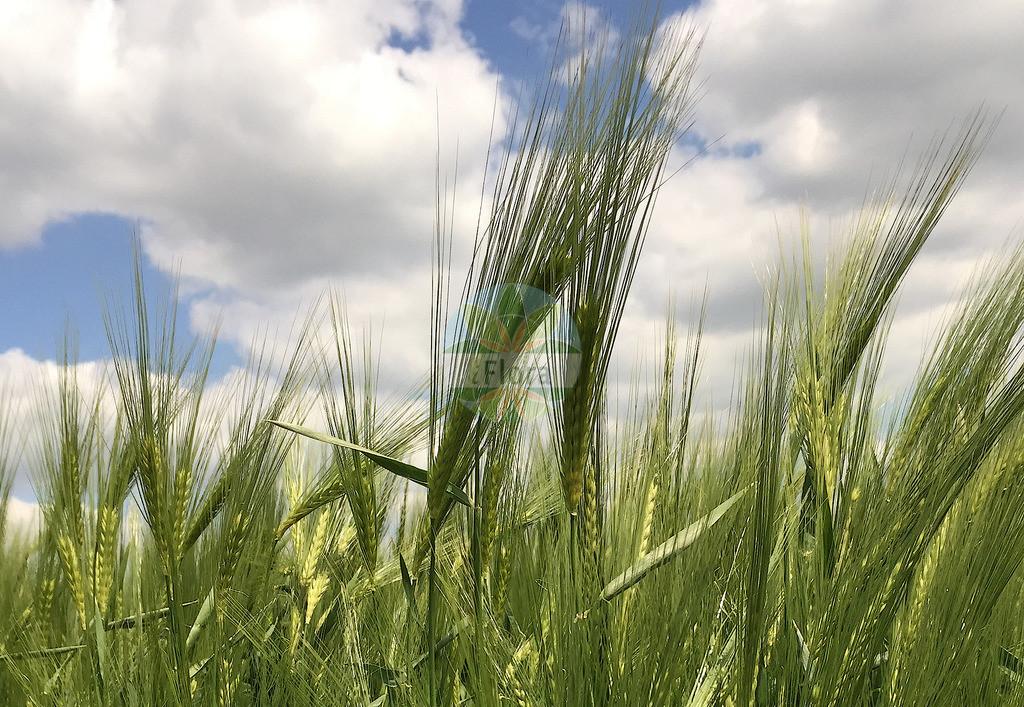 Hordeum vulgare (Saat-Gerste - Six-rowed Barley) | Foto von Hordeum vulgare (Saat-Gerste - Six-rowed Barley). Das Bild zeigt Bluete und Frucht. Das Foto wurde in aufgenommen. ---- Photo of Hordeum vulgare (Saat-Gerste - Six-rowed Barley).The image is showing flower and fruit.The picture was taken in .