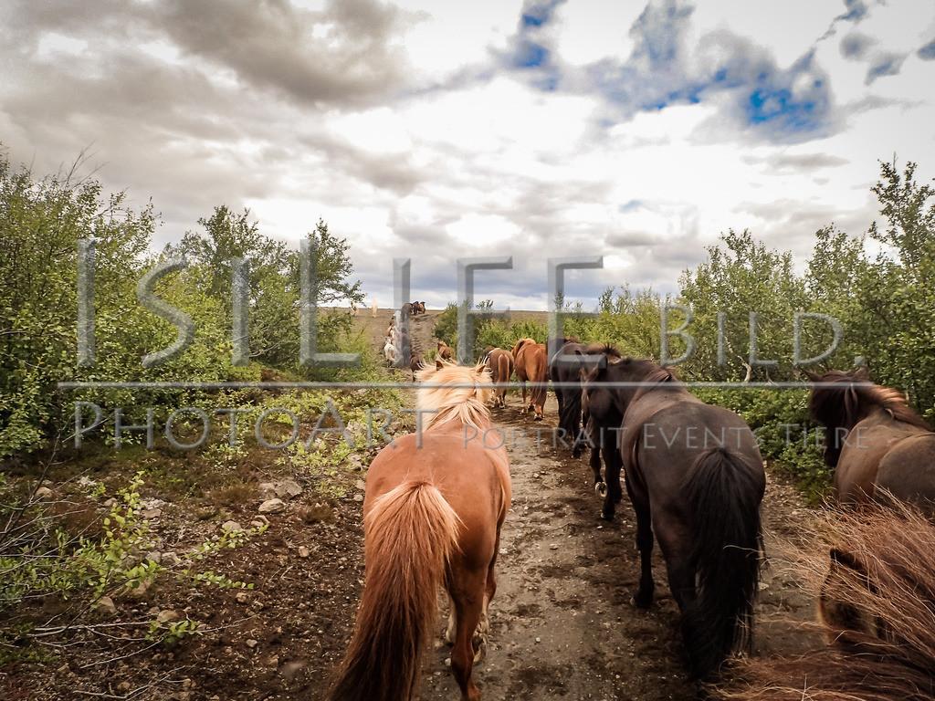 Reittour mit Herde | auf Island