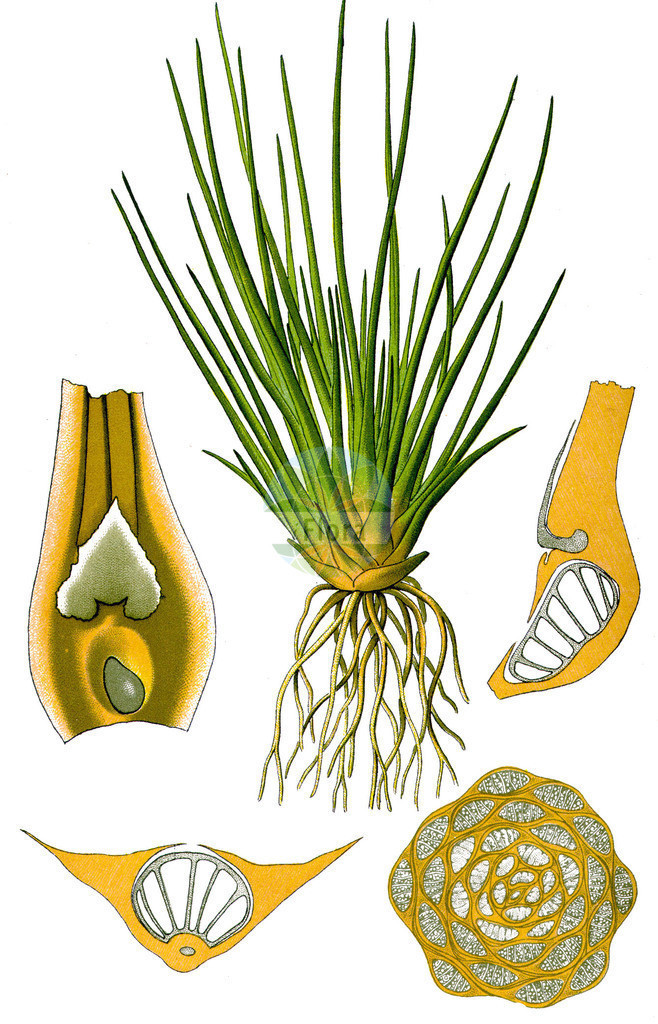 Isoetes lacustris (See-Brachsenkraut - Quillwort) | Historische Abbildung von Isoetes lacustris (See-Brachsenkraut - Quillwort). Das Bild zeigt Blatt, Bluete, Frucht und Same. ---- Historical Drawing of Isoetes lacustris (See-Brachsenkraut - Quillwort).The image is showing leaf, flower, fruit and seed.