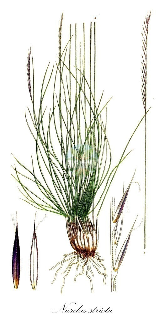 Historical drawing of Nardus stricta (Mat-grass)   Historical drawing of Nardus stricta (Mat-grass) showing leaf, flower, fruit, seed