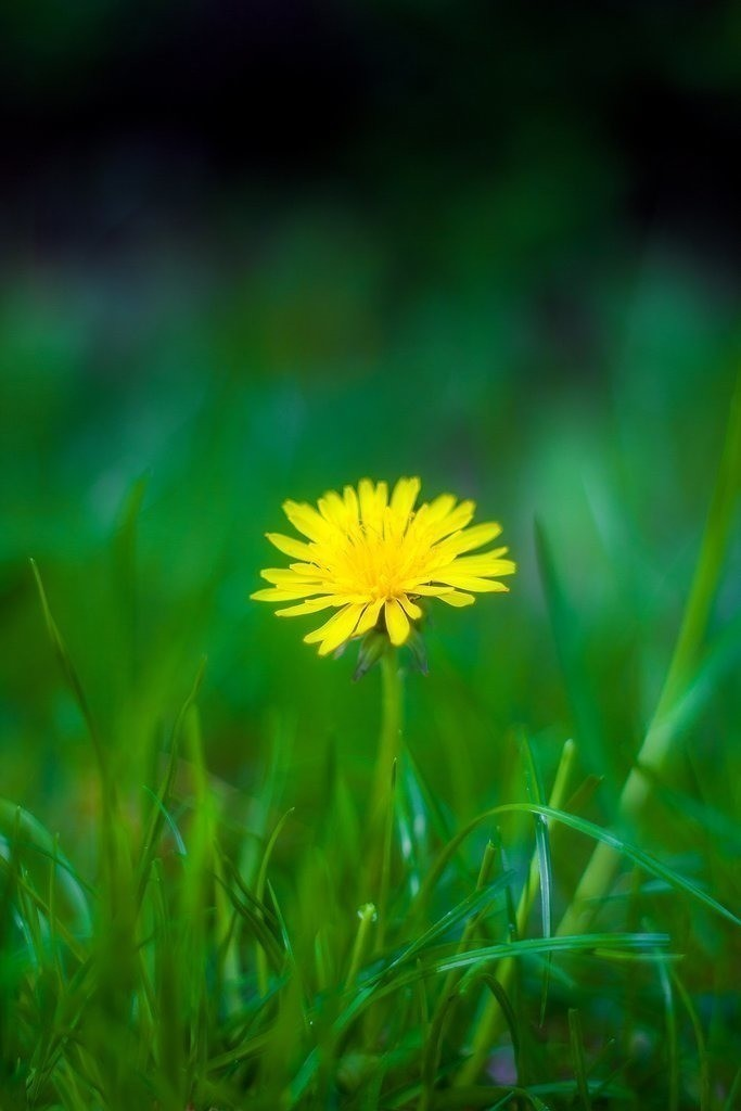 Löwenzahn | Blumenmotiv