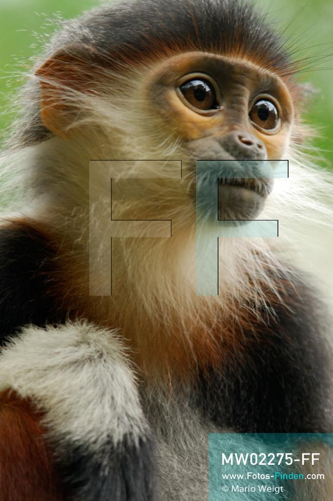 MW02275-FF   Vietnam   Provinz Ninh Binh   Reportage: Endangered Primate Rescue Center   Porträt eines jungen Rotgeschenkligen Kleideraffen. Der Deutsche Tilo Nadler leitet das Rettungszentrum für gefährdete Primaten im Cuc-Phuong-Nationalpark.     ** Feindaten bitte anfragen bei Mario Weigt Photography, info@asia-stories.com **