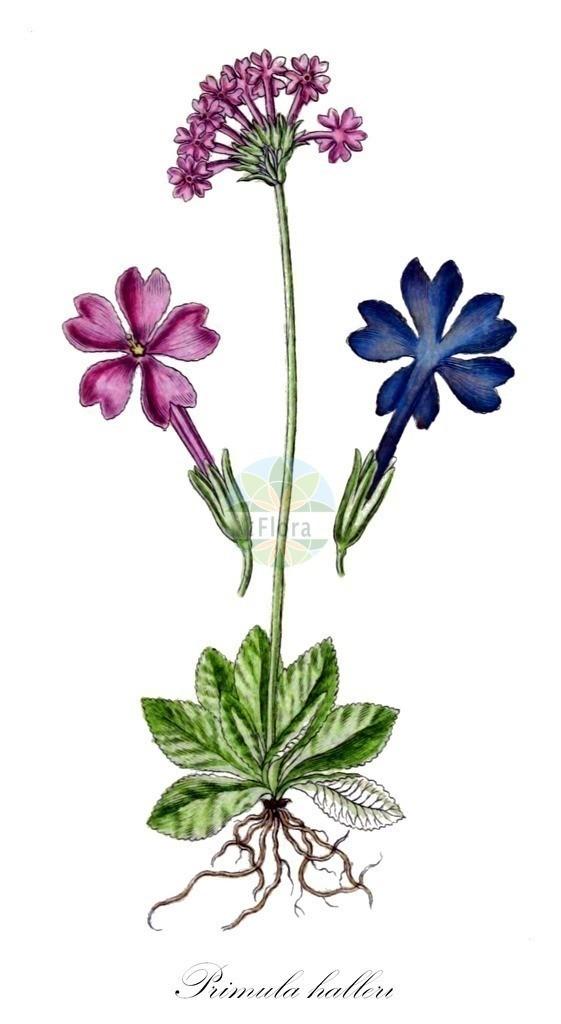 Historical drawing of Primula halleri (Primrose) | Historical drawing of Primula halleri (Primrose) showing leaf, flower, fruit, seed