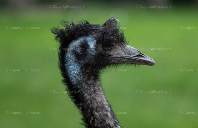 Großer Emu | Seitliches Porträt von dem Großer Emu.