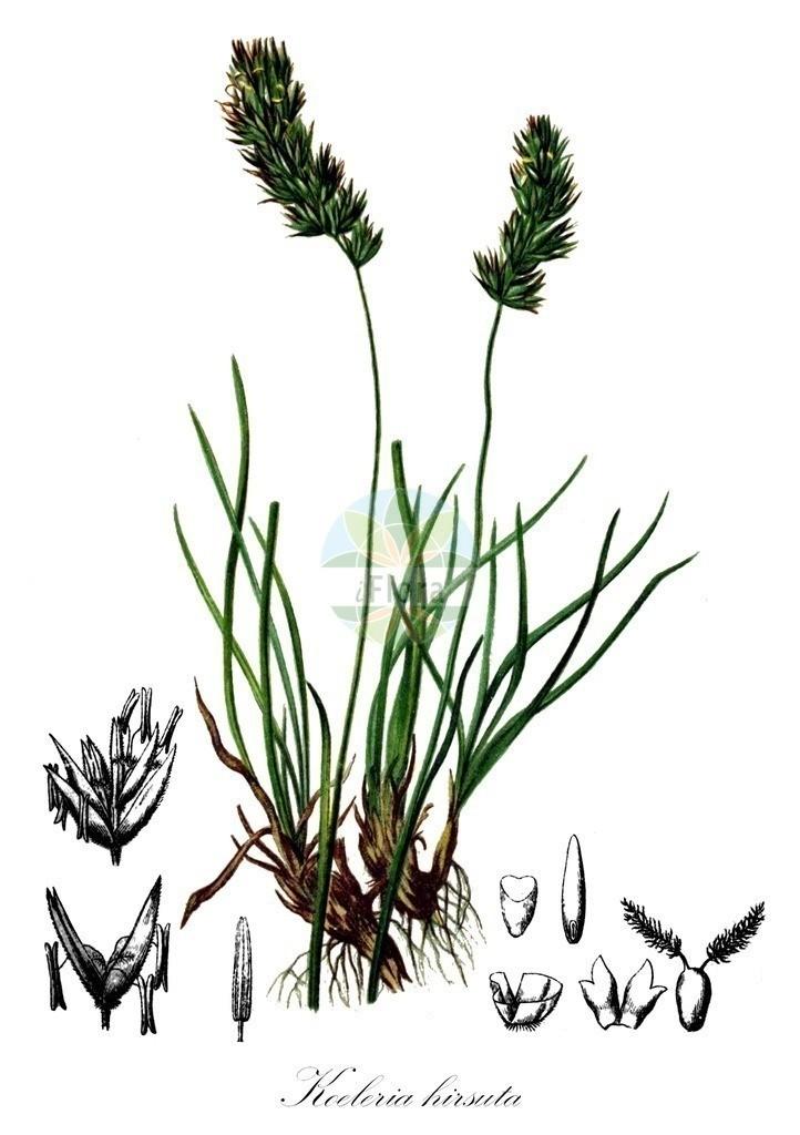 Historical drawing of Koeleria hirsuta (Junegrass) | Historical drawing of Koeleria hirsuta (Junegrass) showing leaf, flower, fruit, seed