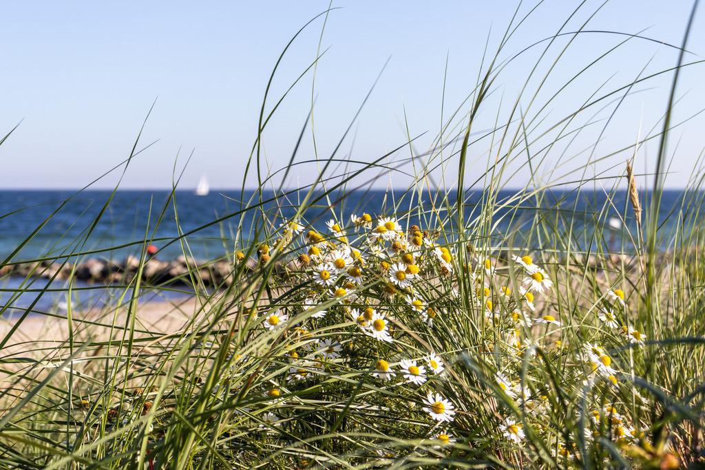 Strand in Schönhagen | Strandhafer und Blumen am Strand in Schönhagen