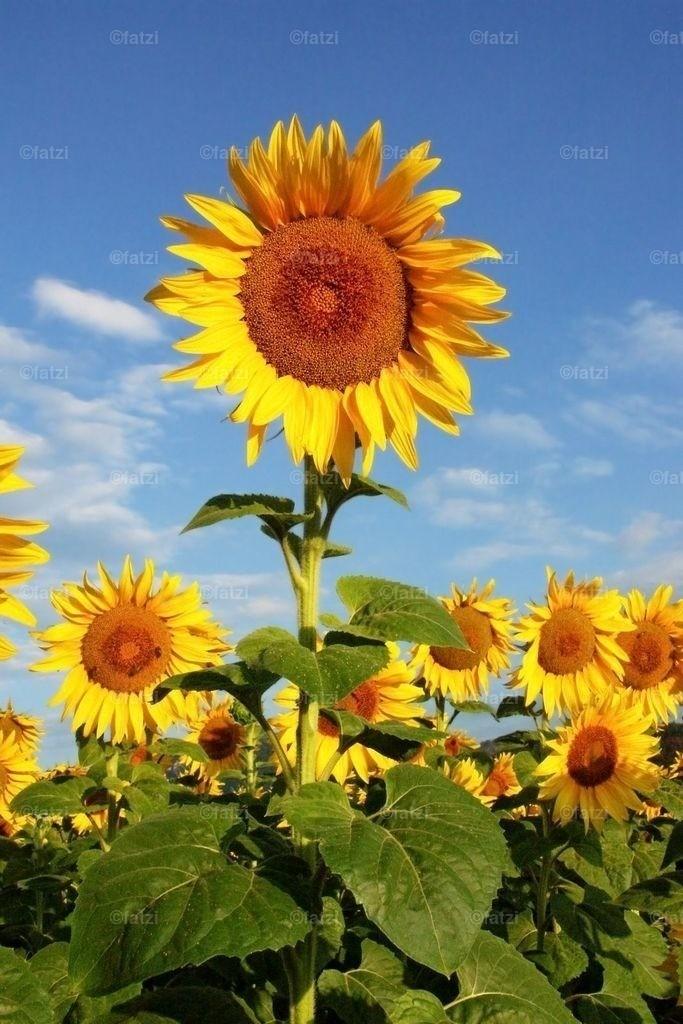 sonnenblumen-8k1
