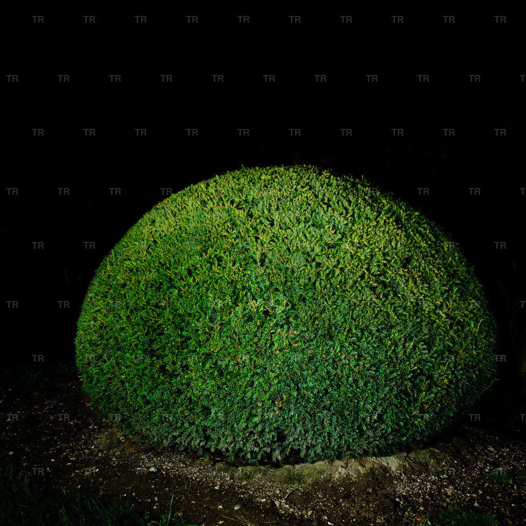 Taxus baccata-night2014.1