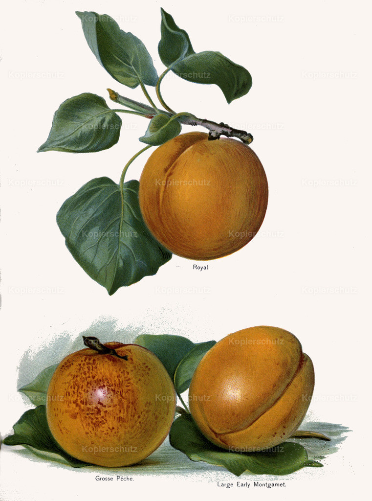 Fruit-Growers-Guide-1890-May-Rivers-Obst-Früchte (10)
