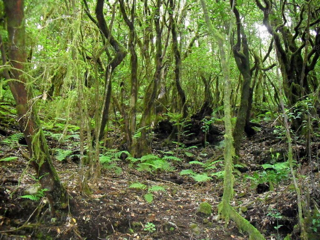 DSCF0091 | Flechten und Lianen im Cedro Wald