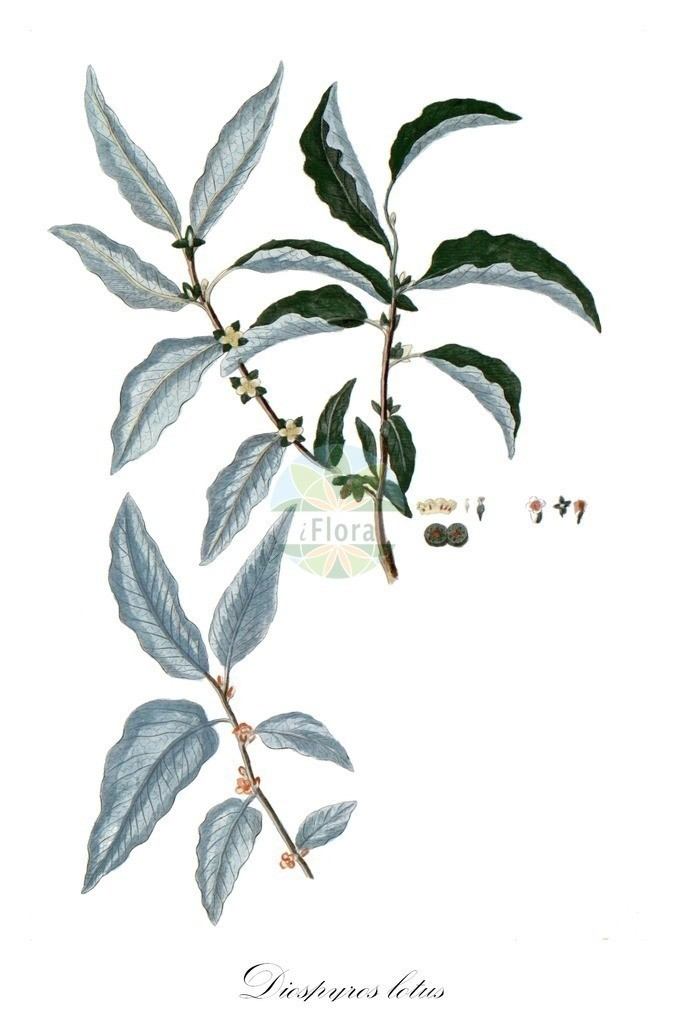 Historical drawing of Diospyros lotus | Historical drawing of Diospyros lotus showing leaf, flower, fruit, seed