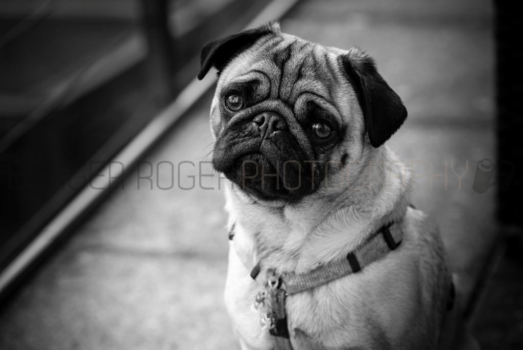 Süsser Mops Earny | Niedlicher Hundeblick vom Mops-Männchen Earny