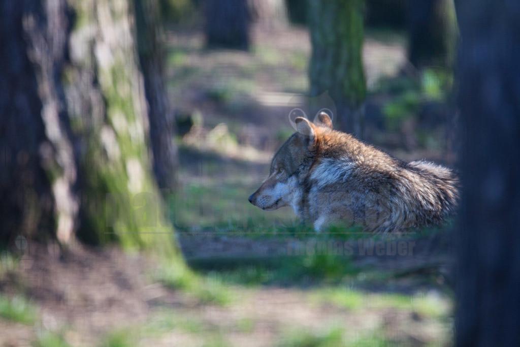 20140309_173316  | Wölfe sind sehr anpassungsfähig und bewohnen die unterschiedlichsten Gegenden, von den arktischen Tundren bis zu den Wüsten Nordamerikas und Zentralasiens. Einst war der Wolf eines der am weitesten verbreiteten Säugetierarten der Welt.