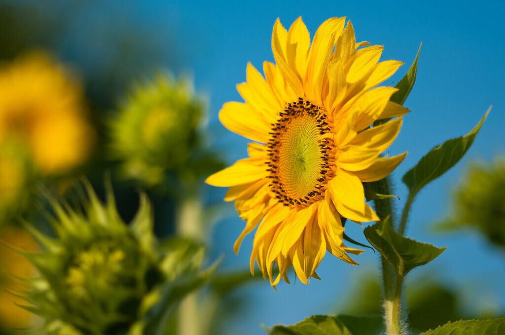 Sonnenblumen | Sommerliches Sonnenblumenfeld