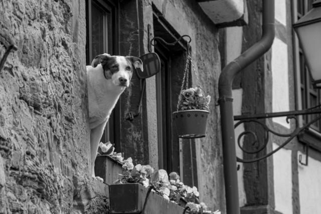 fensterhund