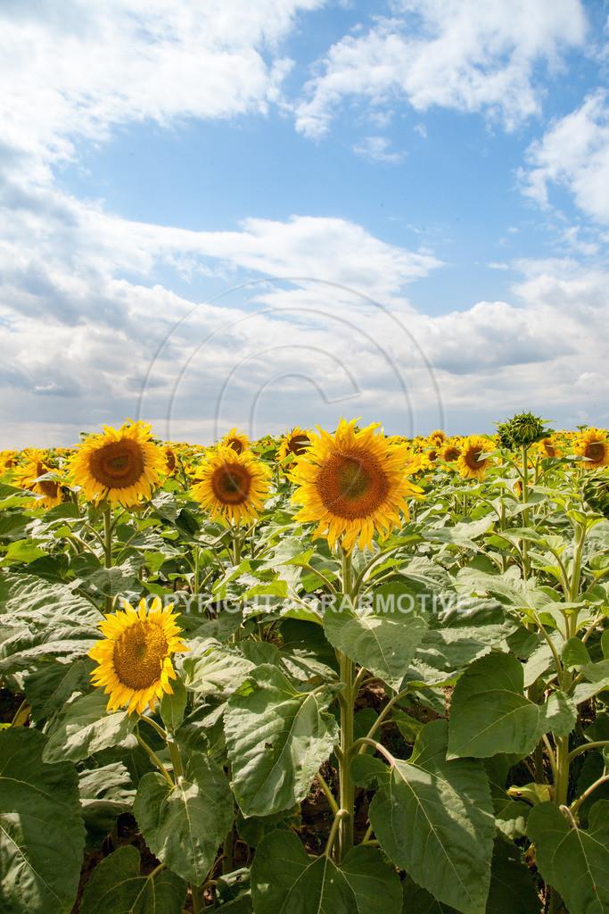 20090711-IMG_3773 | blühende Sonnenblumen im Sommer - AGRARMOTIVE Bilder aus der Landwirtschaft