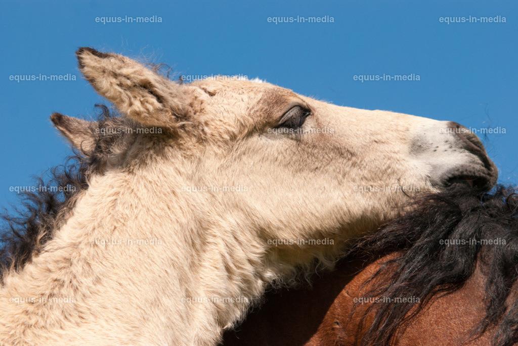 20100616-DSC_6581 | Curly Horse Fohlen steht dicht bei seiner Mutter