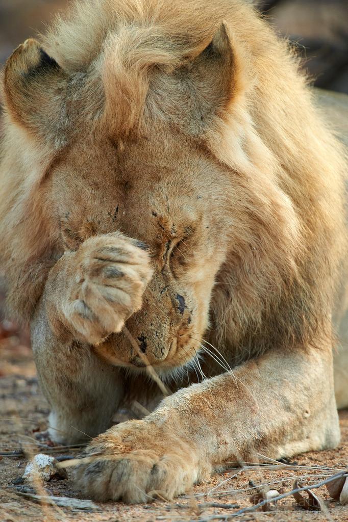 Löwenportrait | Nach der Mahlzeit putzt sich ein Löwenmännchen ausgiebig.