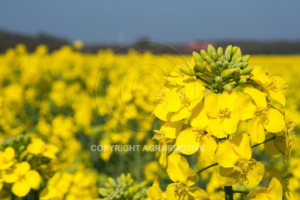 120407-151634   Rapsblüten im Frühling - AGRARMOTIVE