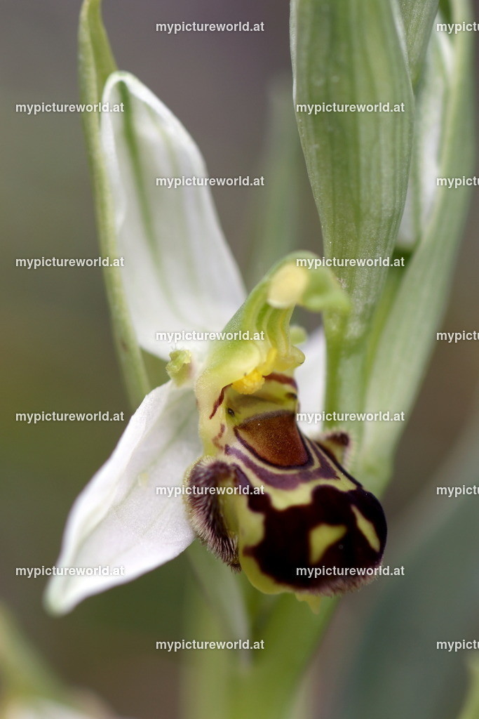 Bienen-Ragwurz-015