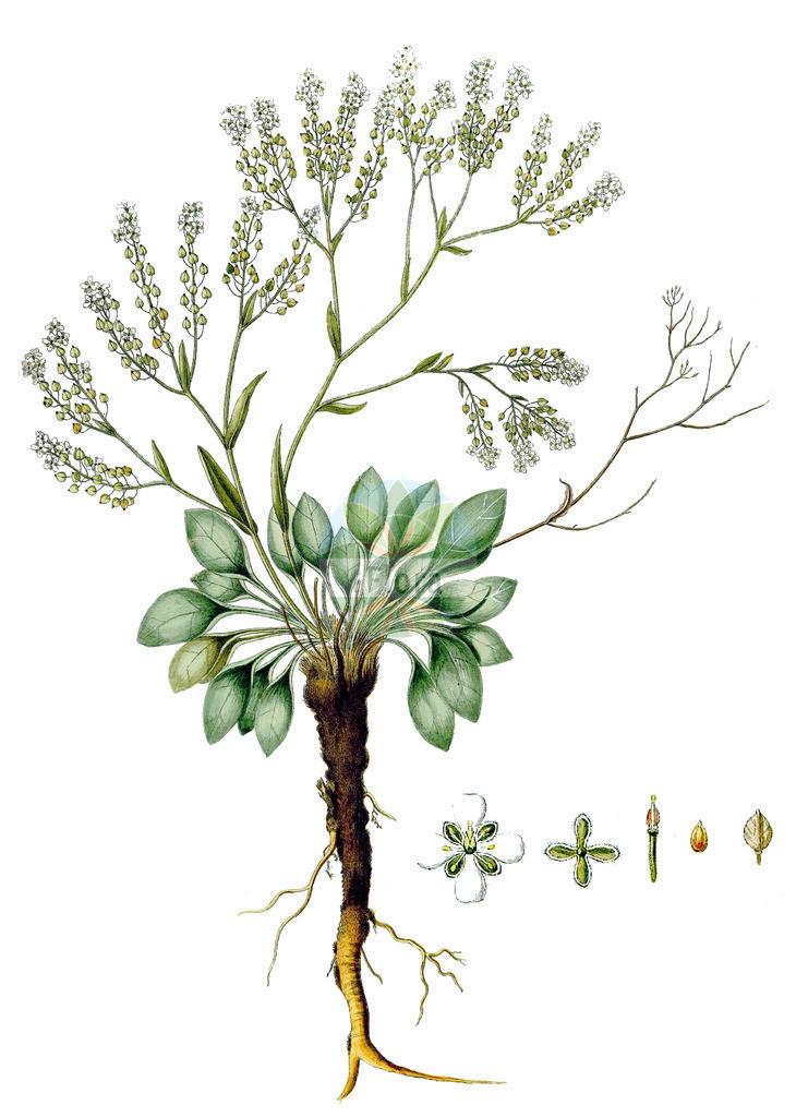 Lepidium cartilagineum | Historische Abbildung von Lepidium cartilagineum. Das Bild zeigt Blatt, Bluete, Frucht und Same. ---- Historical Drawing of Lepidium cartilagineum.The image is showing leaf, flower, fruit and seed.