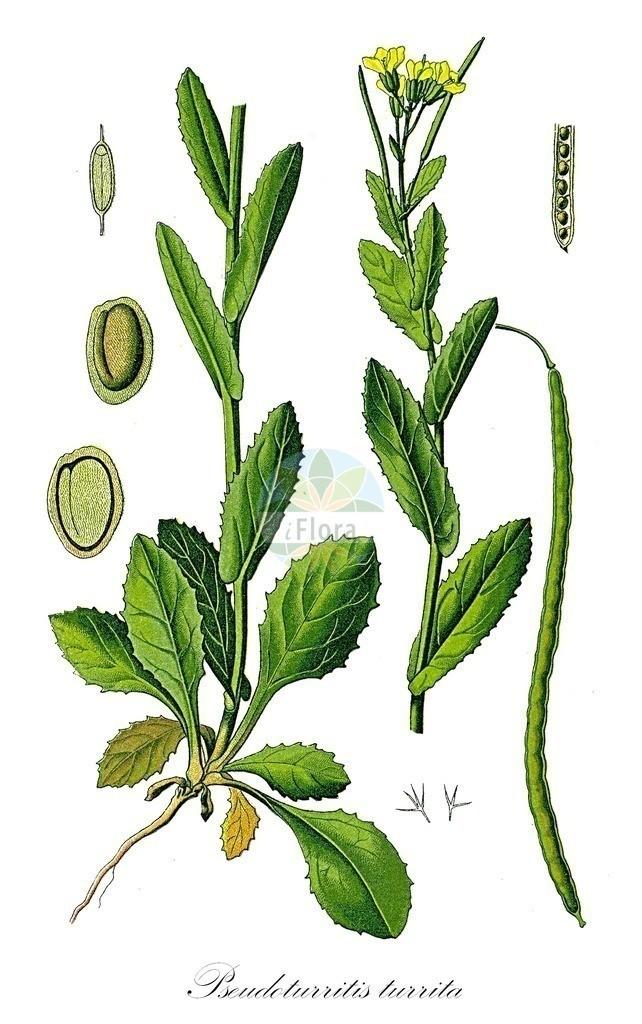 Historical drawing of Pseudoturritis turrita (Tower Cress) | Historical drawing of Pseudoturritis turrita (Tower Cress) showing leaf, flower, fruit, seed