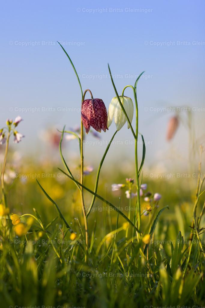Kissing flowers   Diese beiden Schachbrettblumen standen so lieb zueinander. Ein rundum harmonisches Bild. Schachbrettblumen stehen unter Naturschutz und sind sehr selten zu finden. Die weißen Glocken sind noch seltener als die roten. In der Nähe vo Hamburg gibt es eine große Wiese voll mit diesen wunderschönen zarten Blumen. Jedes Frühjahr findet dort das