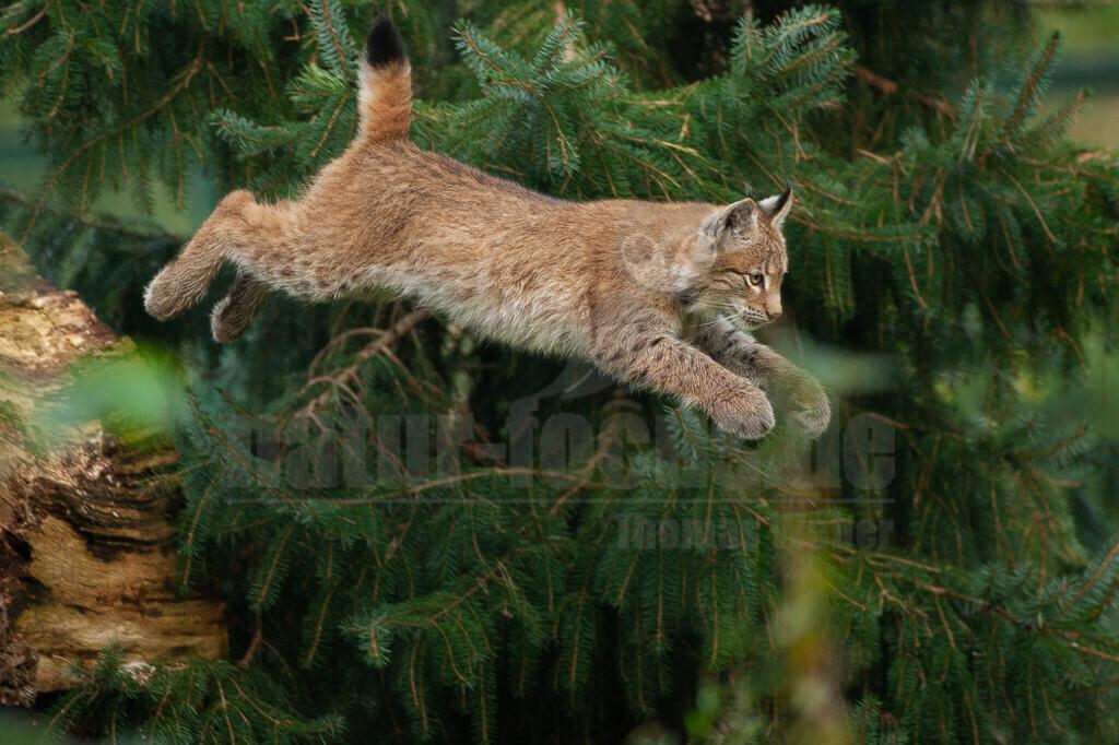 20081010162131 | Die Luchse sind eine Gattung der Familie der Katzen. Alle vier heute lebenden Arten kommen auf der Nordhalbkugel vor: Der Eurasische Luchs ist in weiten Teilen Europas und Asiens verbreitet;