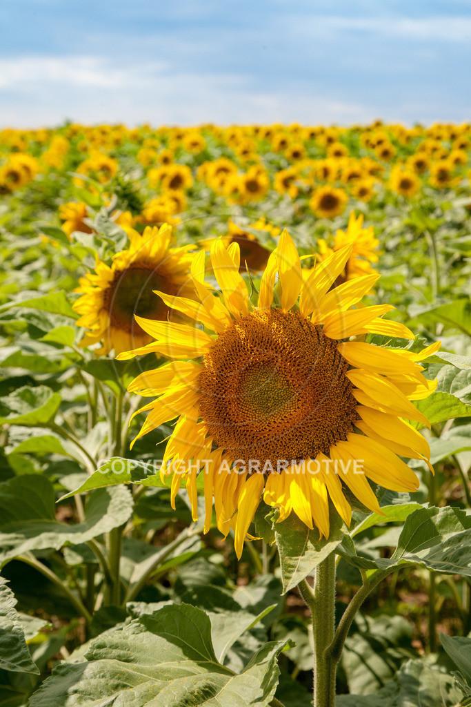 20090711-IMG_3785 | blühende Sonnenblumen im Sommer - AGRARMOTIVE Bilder aus der Landwirtschaft