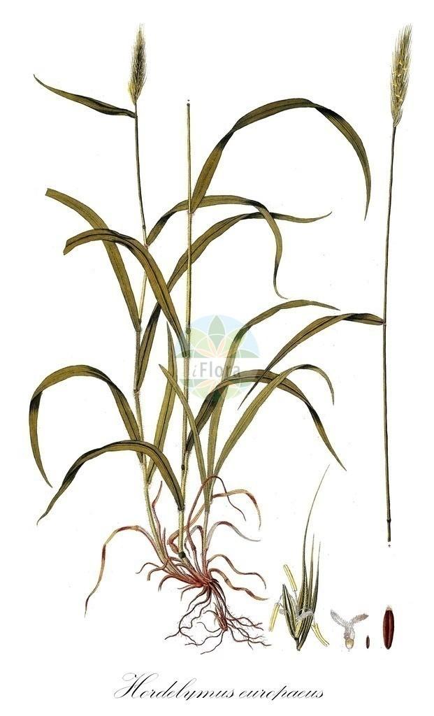 Historical drawing of Hordelymus europaeus (Wood Barley) | Historical drawing of Hordelymus europaeus (Wood Barley) showing leaf, flower, fruit, seed