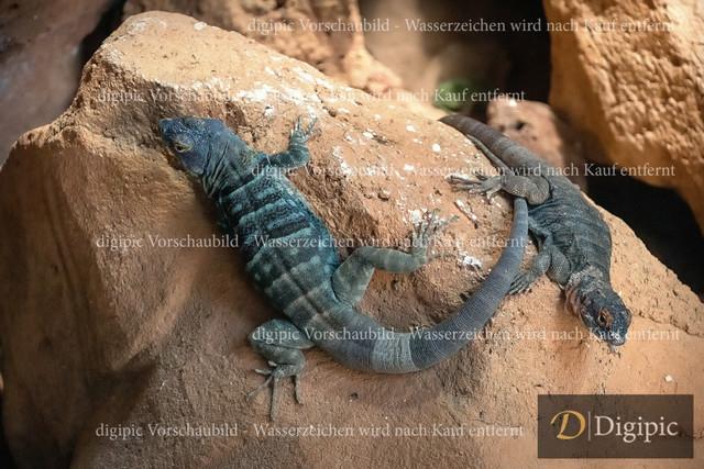 Blauer Felsenleguan 1 -Vorschaubild